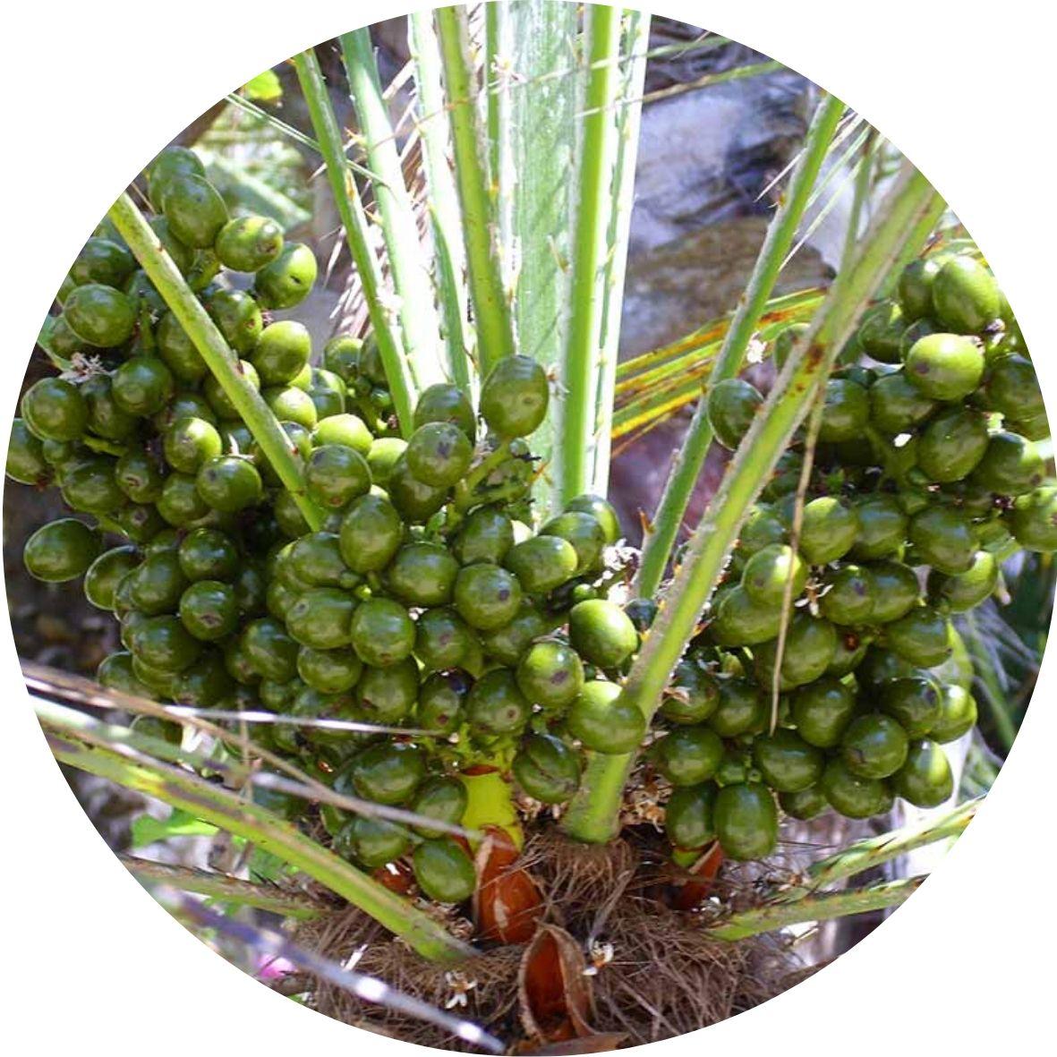 Saw palmetto, Serenoa plazivá pro podporu erekce